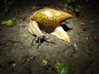 Carnivorous Land Snail