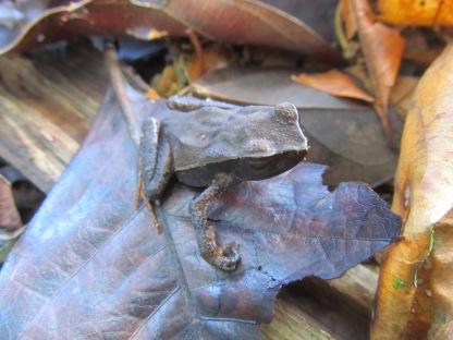 Leaf toad